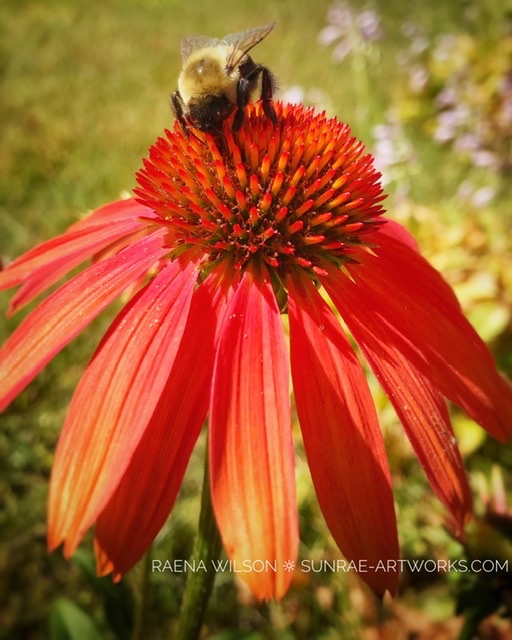Bumble Bee on Coneflower, Photography by Raena Wilson